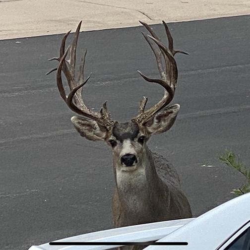 Mule Deer Buck in Front Yard Castle Rock Colorado