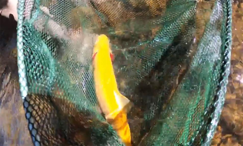 Golden Rainbow Trout