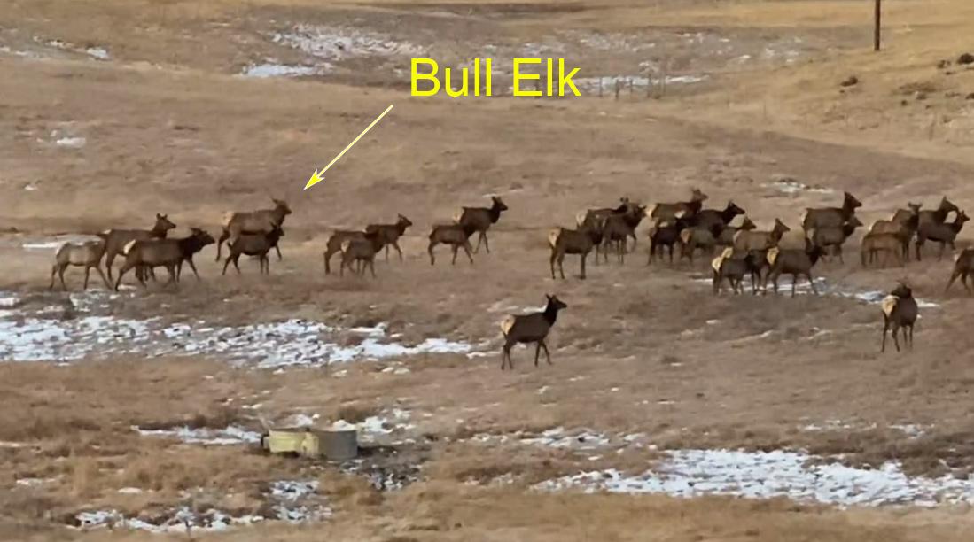 Elk Herd | Divide Colorado