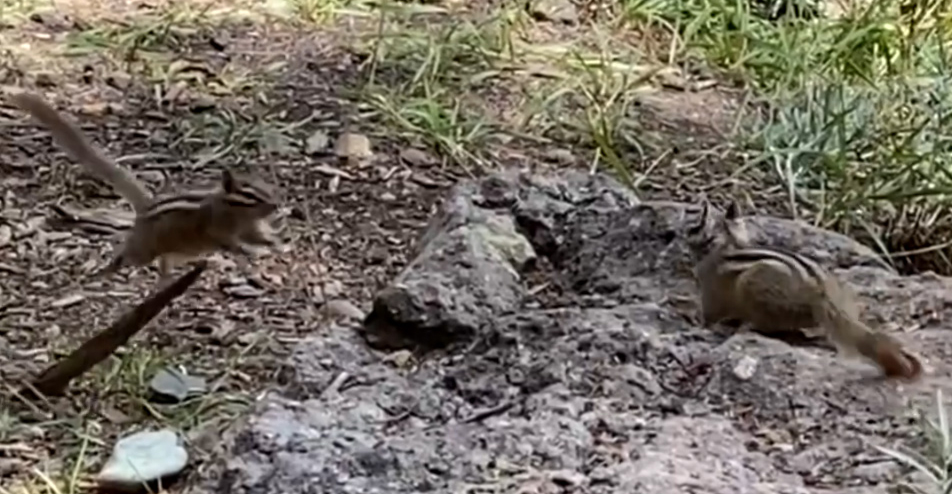 Chipmunks in Colorado