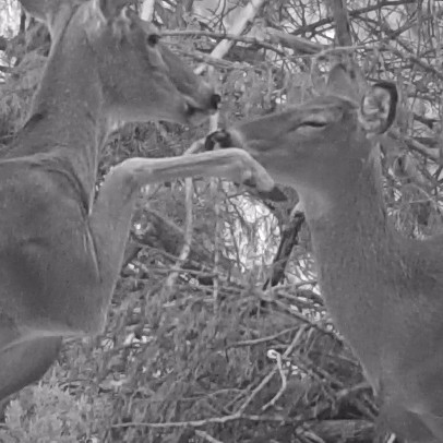 White Tailed Deer and Protective Mother